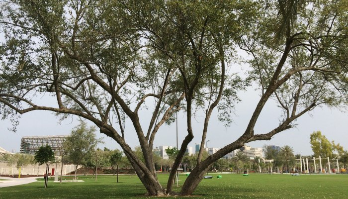 Old tree replanted in Mushrif Central Park