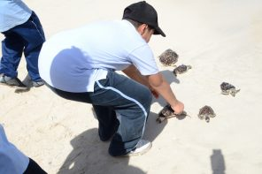 Turtle Release at Saadiyat Beach 23rd of May 2017